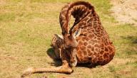 كيف تنام الزرافة