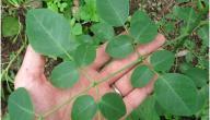 ما فوائد شجرة المورينجا