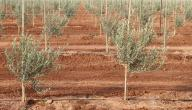 How olive planting