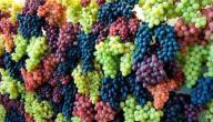 كيف تتم زراعة العنب