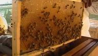 كيف تربي النحل