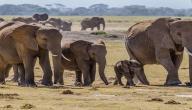 كم مدة حمل الفيل