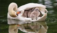 كيف تعتني الطيور بصغارها