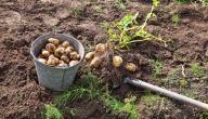 كيف أزرع البطاطس