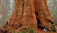 أين توجد أكبر شجرة في العالم