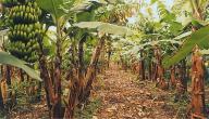 كيف تزرع الموز