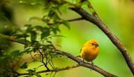 تربية طيور الكناري
