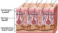 كم عدد طبقات جلد الإنسان