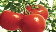 أكل الطماطم للحامل