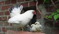 كيف تتكاثر الدجاجة