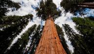 أين تقع أكبر شجرة في العالم