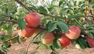 أين يزرع التفاح