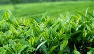 أين يزرع الشاي