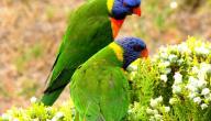تربية العصافير الاسترالى