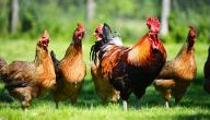 تربية دجاج البيض