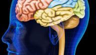 أين يقع الدماغ في الرأس