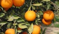 أين يزرع البرتقال