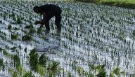 أين يزرع الأرز