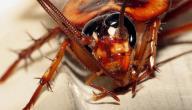 طريقة فعالة للتخلص من الصراصير