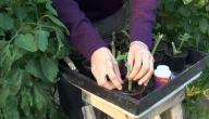كيف أزرع الطماطم بالبيت
