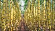 أين يزرع قصب السكر