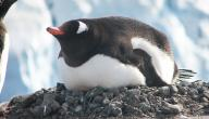 أين يجعل طائر البطريق عشه