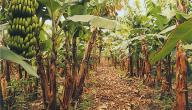 كيف يزرع شجر الموز