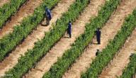 كيف يتم زراعة العنب