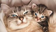 كم هي فترة حمل القطط