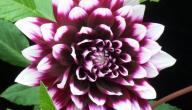 فوائد زهرة الداليا