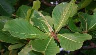 فوائد عشبة الكابلي