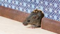 كيف تتخلص من فأر المنزل