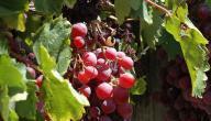 كيف تزرع شجرة العنب