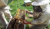 كيف تتم تربية النحل