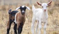 أنواع الماعز