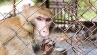 أوتا بينغا في قفص القرود