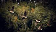 أنواع الطيور المهاجرة