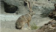 صيد الأرانب