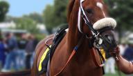 صفات الخيول العربية الأصيلة