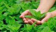 كيفية زراعة النعناع