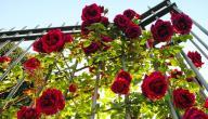 أنواع الورد الطبيعي