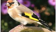 أنواع الطيور المغردة