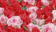 أنواع الورود ومعانيها