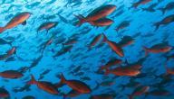 أنواع السمك في مصر