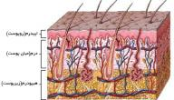تعريف الجلد