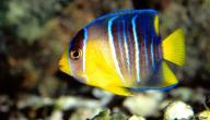أنواع السمك في البحر الأحمر