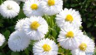 أنواع الورد الأبيض