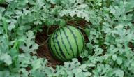 كيفية زراعة البطيخ