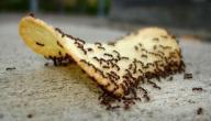 التخلص من النمل في المنزل