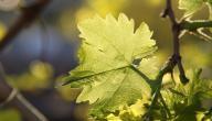تخزين ورق العنب